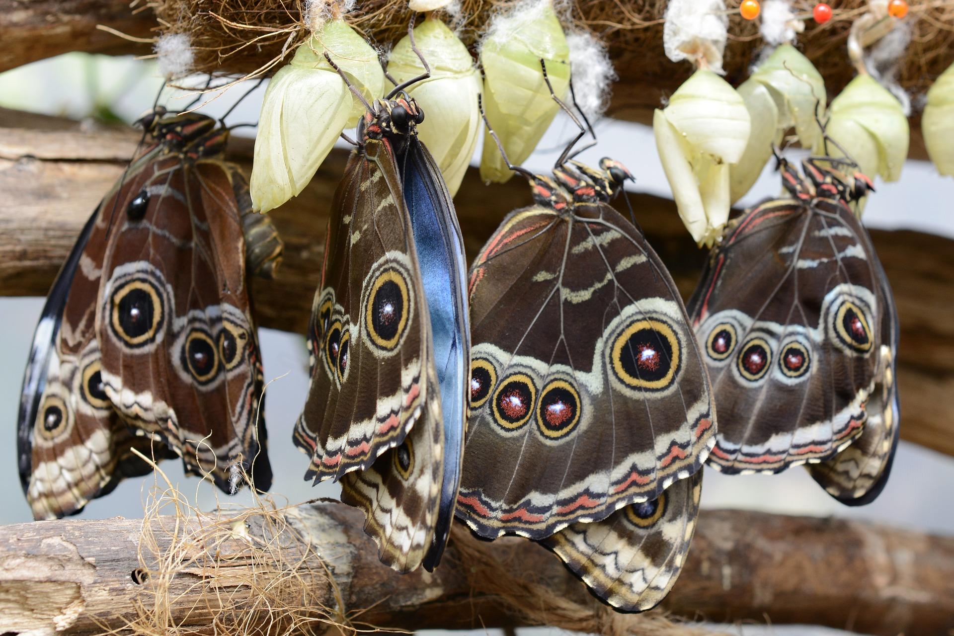 metamorfoza motyla
